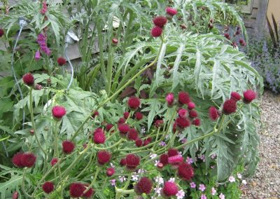 Cardoon, cirsium and geraniums